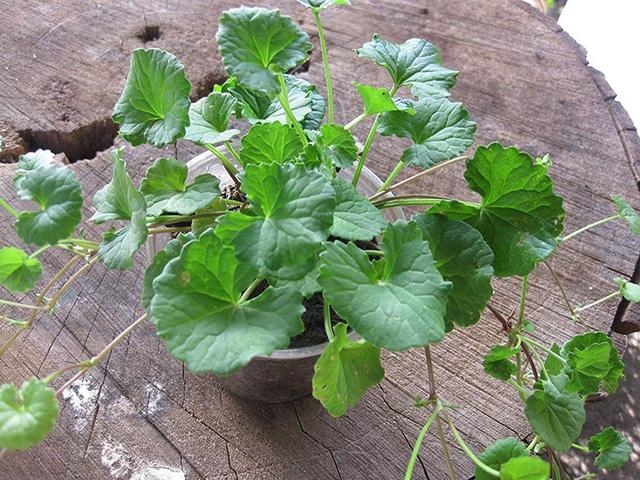 Có thể trồng rau má trong chậu cảnh để ban công